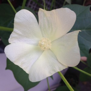 Special Seed Planting Cotton Tree Seeds /Benih Pokok Kapas Kerdil Project Experiment